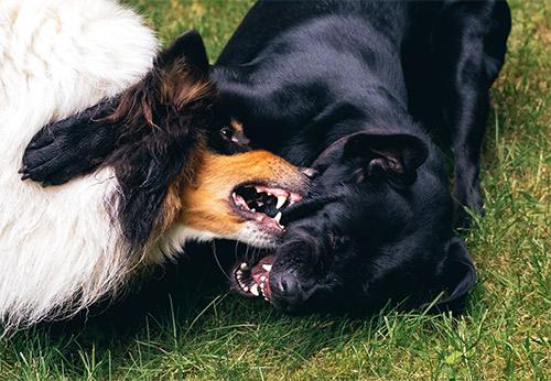 Dois cães brigando e mordendo
