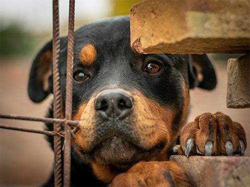 Rottweiler adestrado proteção