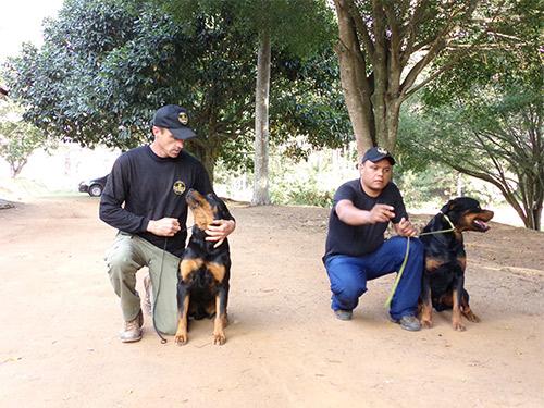 Rottweilers adestrados para Obeidência