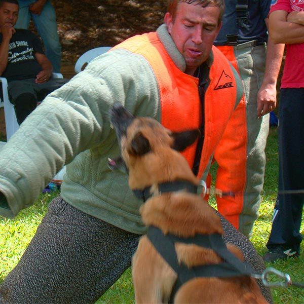 adestramento para protecao malinois