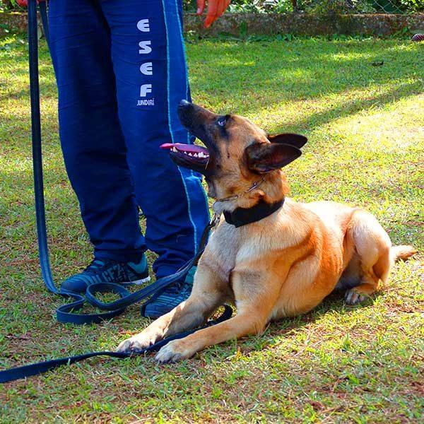 cachorro treinado comando deita