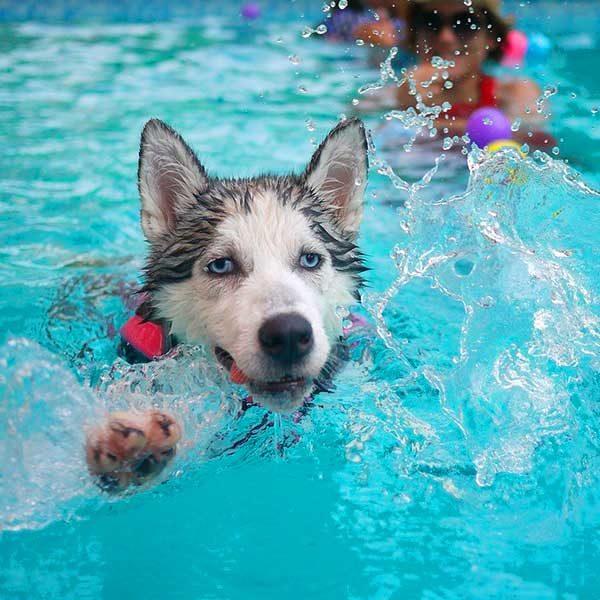 Cachorro Huski nadando